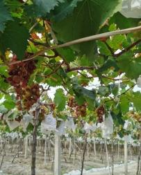 又到了摘葡萄的季節。