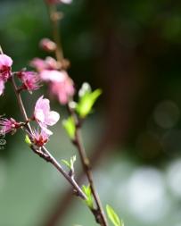 绶溪公园的桃花